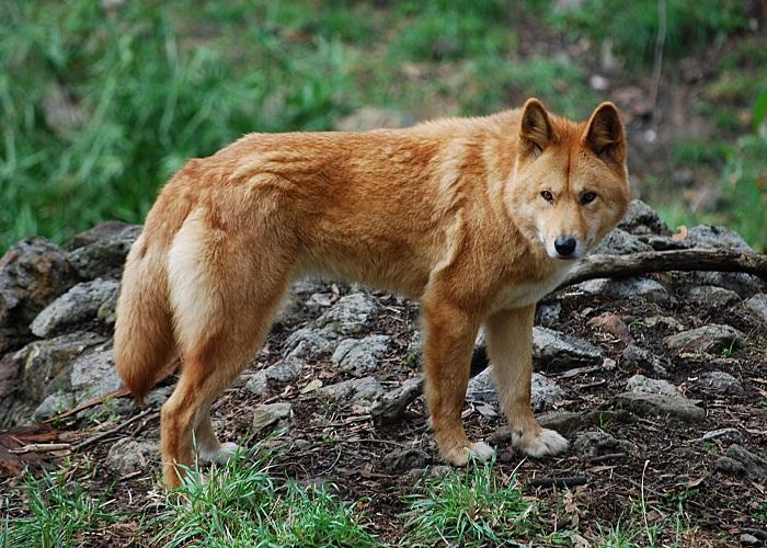 Divoký australský pes dingo