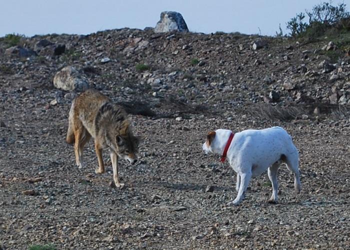 V Severní Americe se vyvíjí nová psovitá šelma