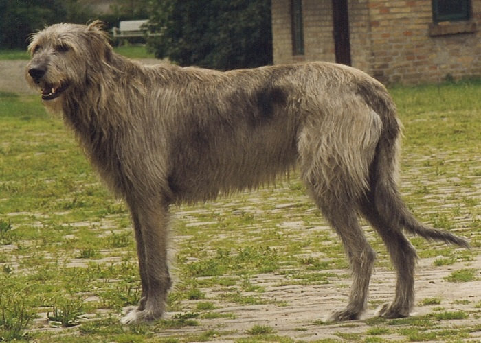 Největší psí rasa světa