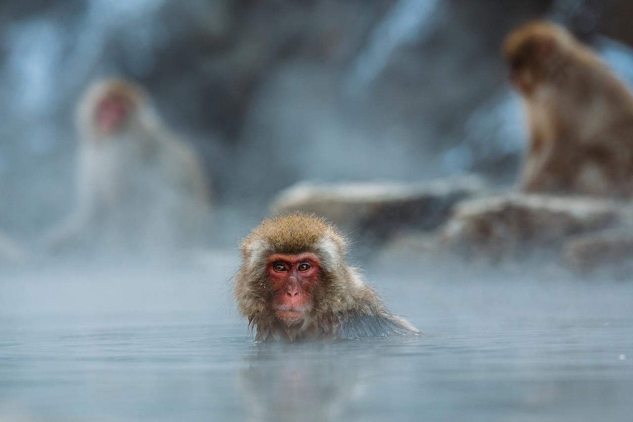 Makak červenolící – japonská sněžná opice