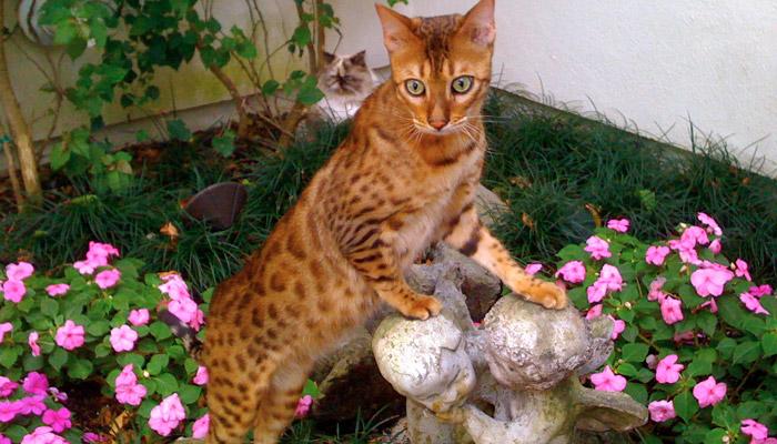 Kočičí kříženec Ashera