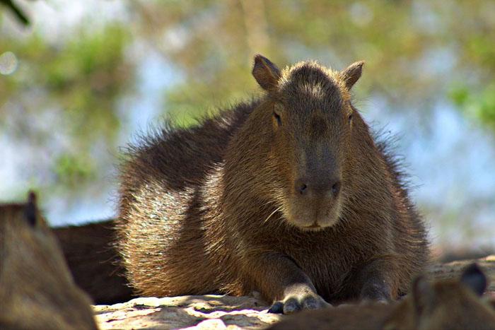 Největší hlodavec světa – kapybara