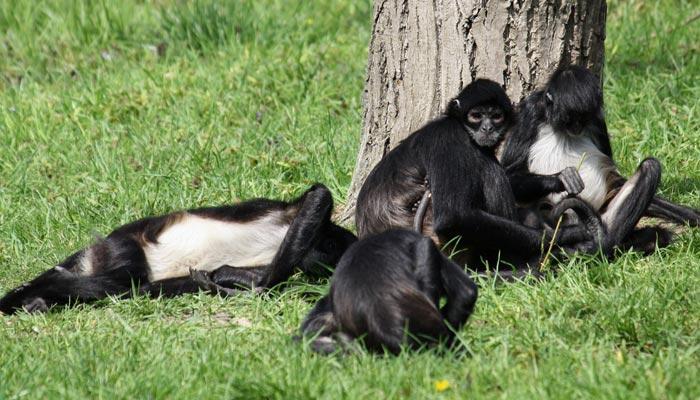 Opice jménem chápan