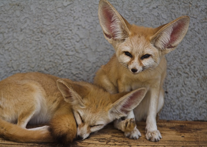 Malá pouštní liška jménem fenek
