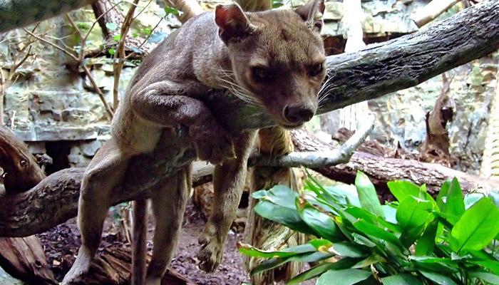 Madagaskarská šelma fosa
