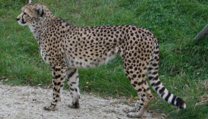 Nejrychlejším zvířetem nemusí být gepard