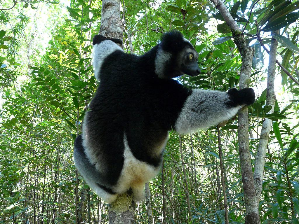 Indri – největší z lemurů