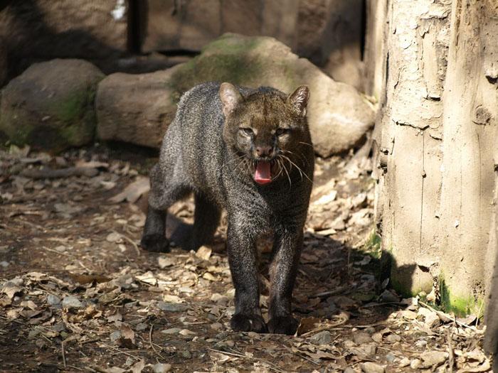 Zvláštní kočkovitá šelma jaguarundi