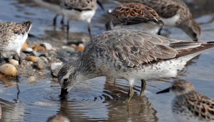Jespák skvrnitý – pták, který dokáže být vzhůru 14 dní v kuse