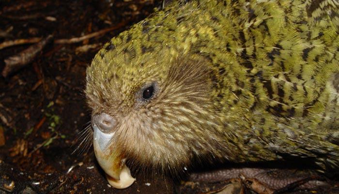 Noční papoušek kakapo
