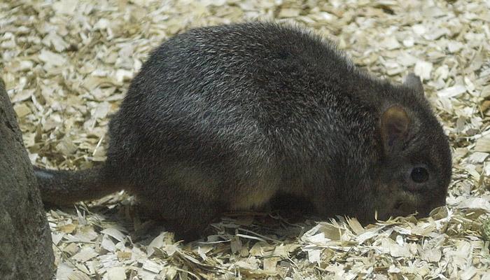 Vzácný klokánek králíkovitý