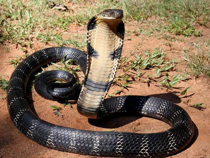 Nejlepší rodič hadí říše – kobra královská
