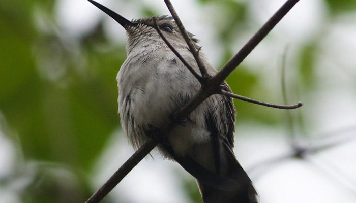 Kolibřík včelí – nejmenší pták světa