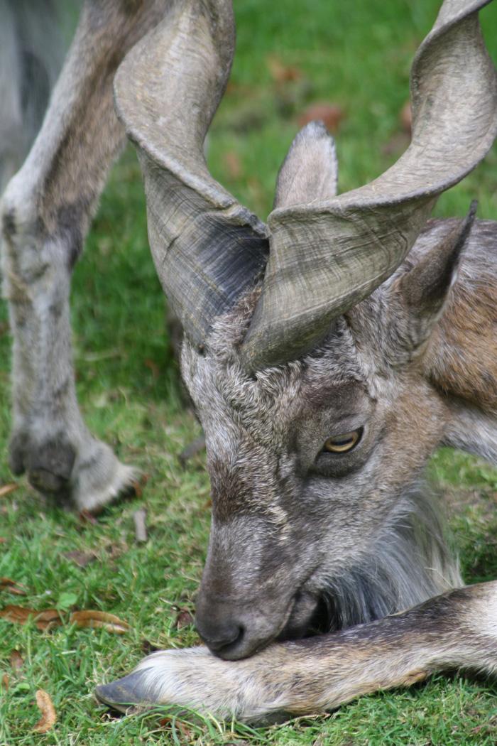 Ďábelsky vypadající koza šrouborohá