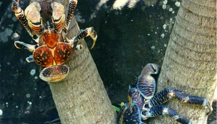 Obrovský krab palmový