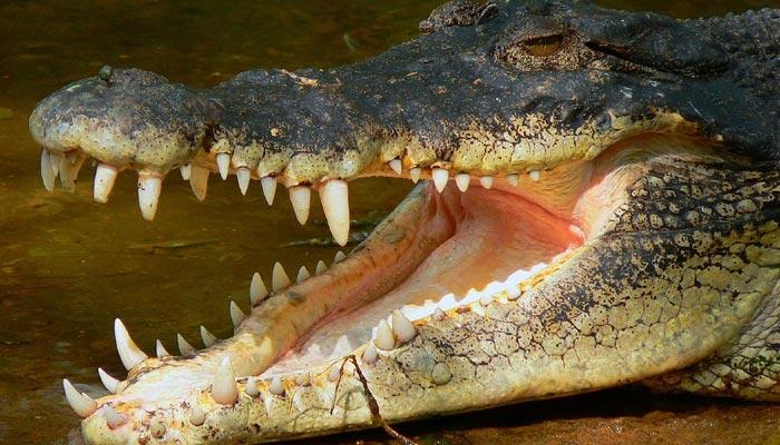 Proč nemůže krokodýl nilský vypláznout jazyk?
