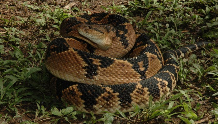 Tropický had křovinář
