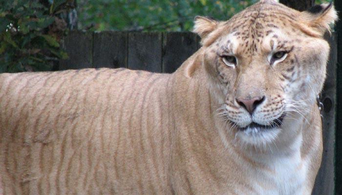Liger – obří kříženec lva a tygra