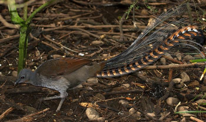 Pták s úžasným ocasem – lyrochvost