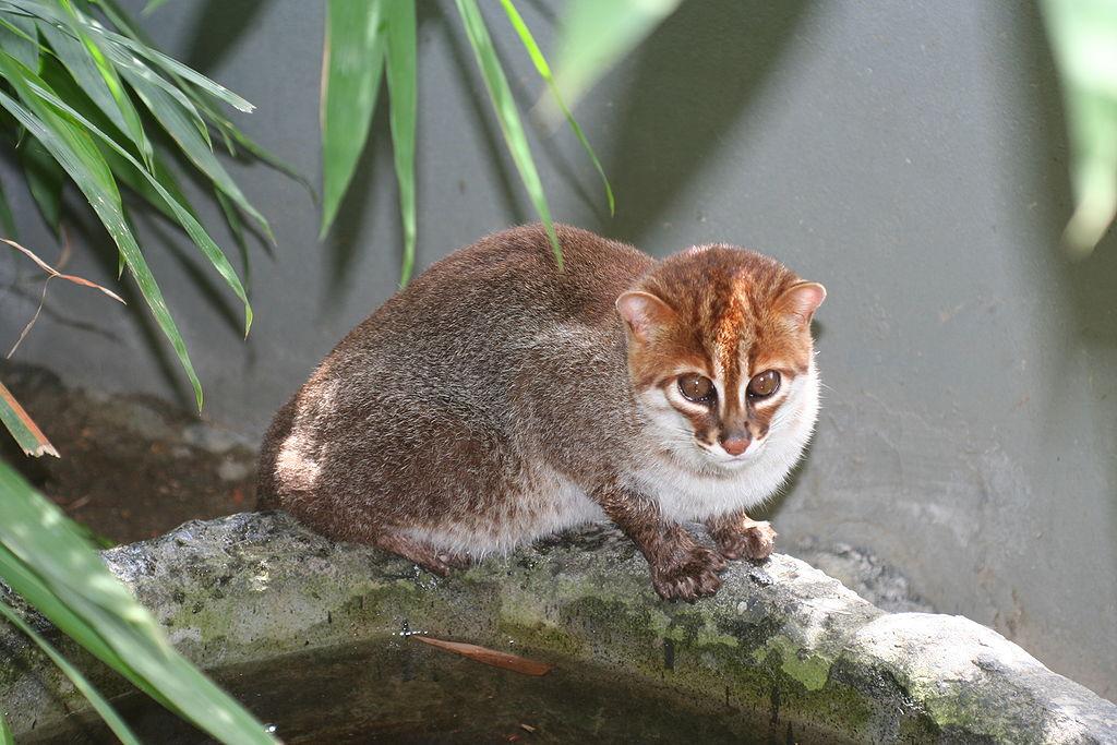 Málo známé druhy koček (bažinná, pouštní, plochočelá)