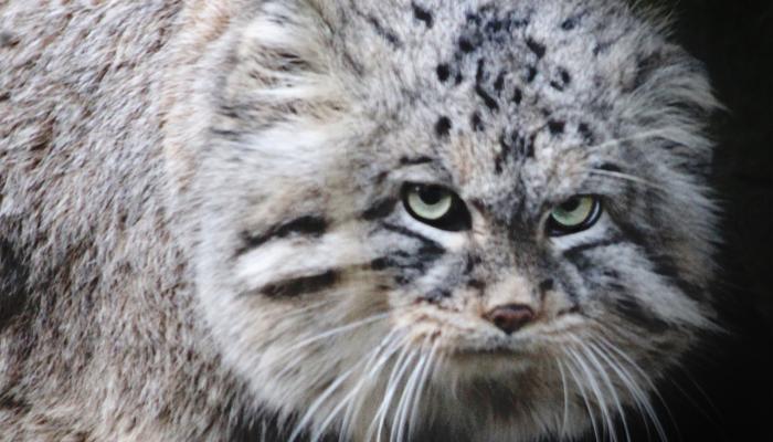 Jediná divoká dlouhosrstá kočka manul