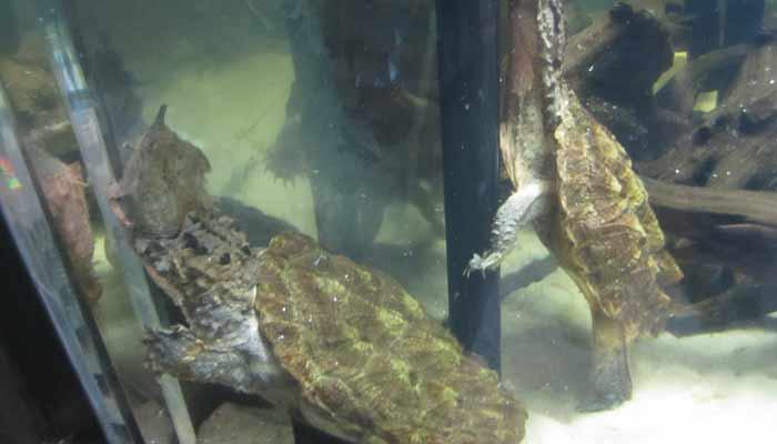 Podivuhodná želva matamata