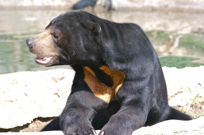 Jediný pravý tropický medvěd – medvěd malajský