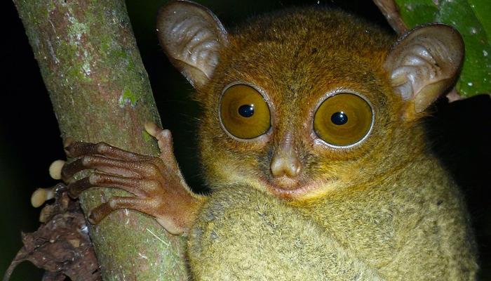Nártoun – nejmenší primát