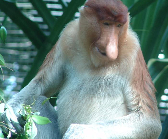 Kahau – opice s obřím nosem