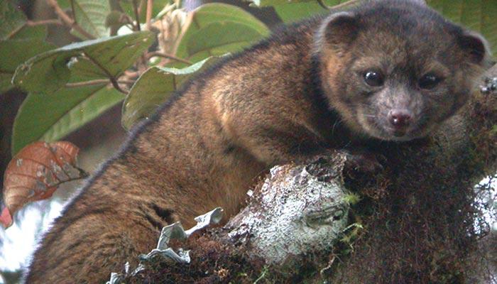 Medvídkovitá šelma olingo