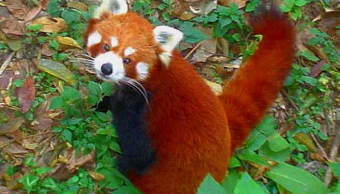 Stromová šelma panda červená