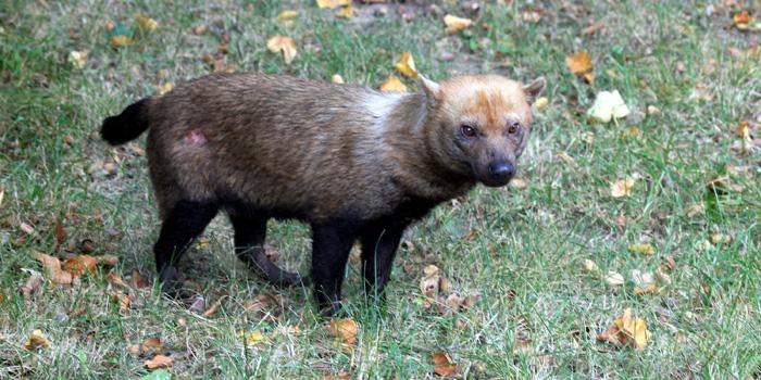 Vytrvalý lovec – pes pralesní