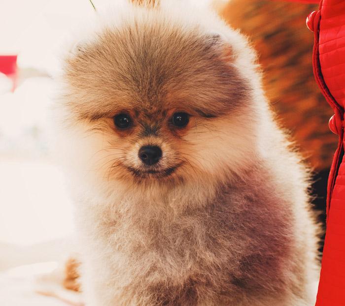 Pomeranian: živý plyšový medvídek