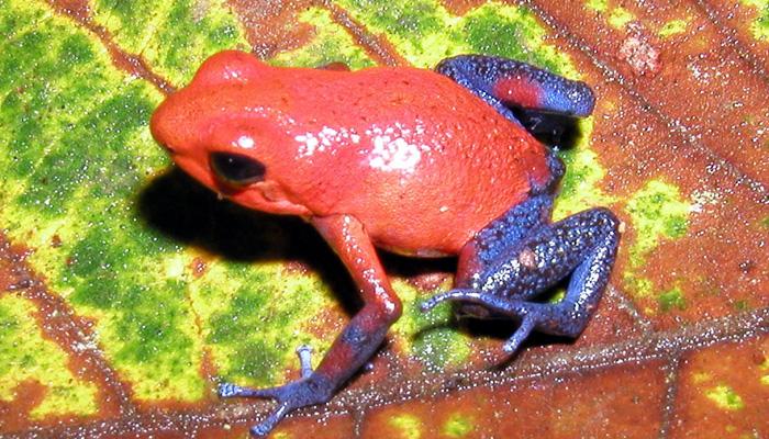 Jedovaté a barevné žáby pralesničky