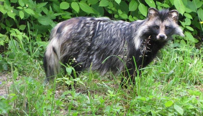 Šplhající psík mývalovitý