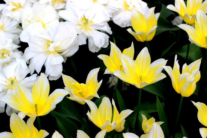 Keukenhof- Ráj květin