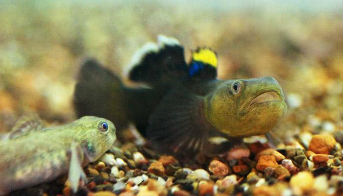 Hlaváč pustinný – rybka s napoleonským komplexem