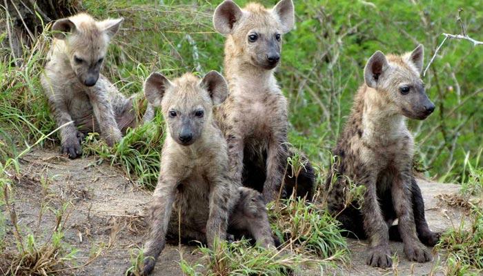Proč mají samičky hyeny skvrnité penis?