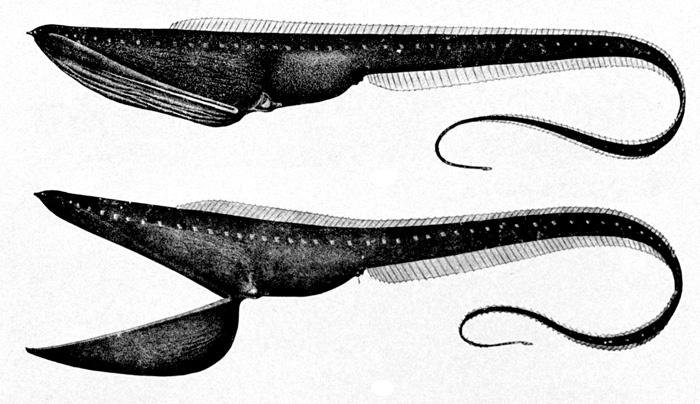 Neobvyklá ryba šírotlamka pelikánovitá