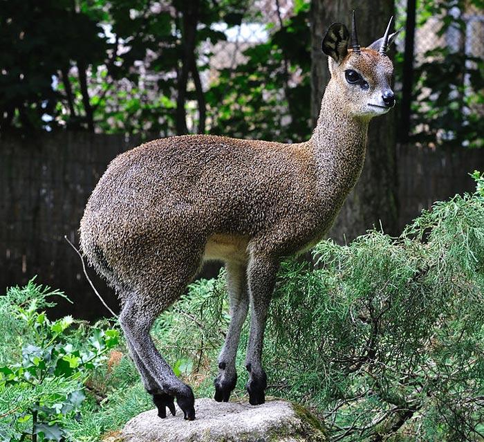 Antilopa zvaná skálolez