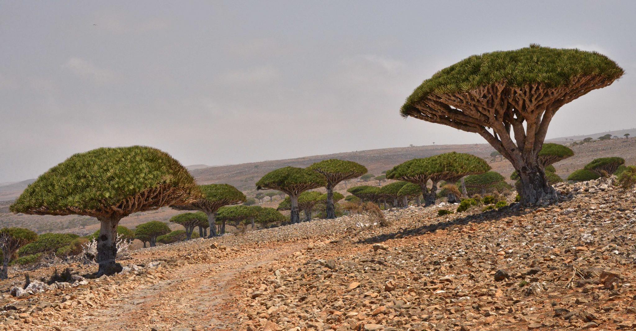 Ostrov Sokotra nabízí bizarní podívanou