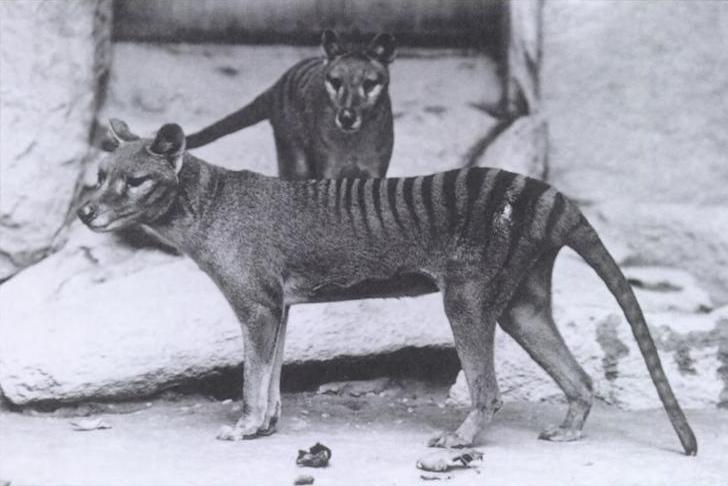 Vyhynulý tasmánský tygr