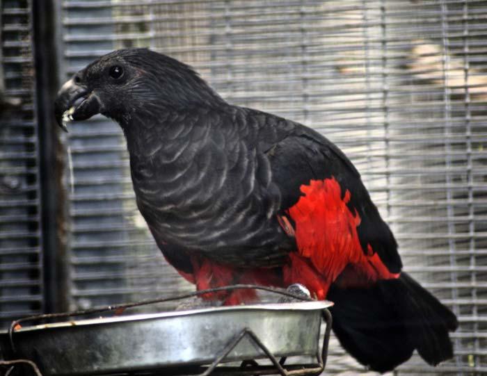 Netradiční papoušek tricha orlí