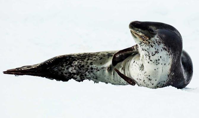 Tuleň leopardí – postrach tučňáků si troufne i na člověka