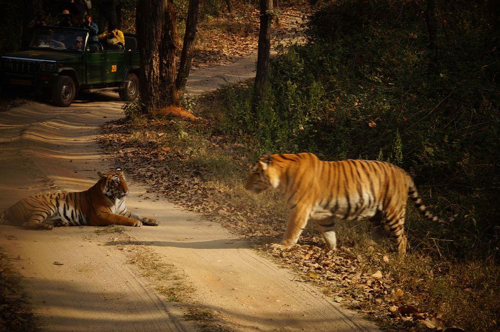 V národním parku Kanha můžete potkat tygry