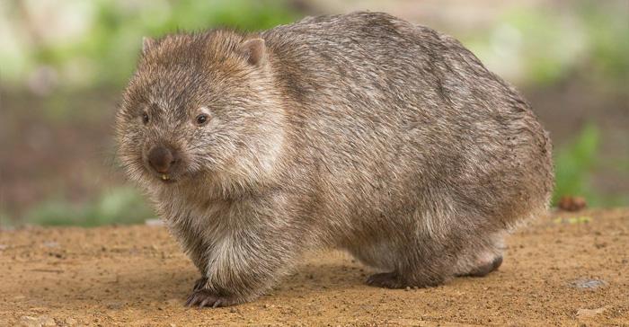 Australský vačnatec vombat