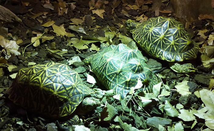 Želva hvězdnatá se zvláštním krunýřem